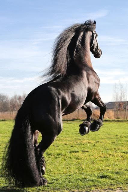 HESSEL - Friesian Stallion  #FriesianHorses