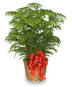 small indoor pine trees norfolk island pine holiday plant basket all house plants - Christmas Tree Plant