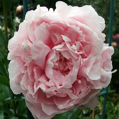 Peony Poppy Pale Rose Flower Seeds (Papaver Paeoniflorum) 100+Seeds - Under The Sun Seeds  - 1