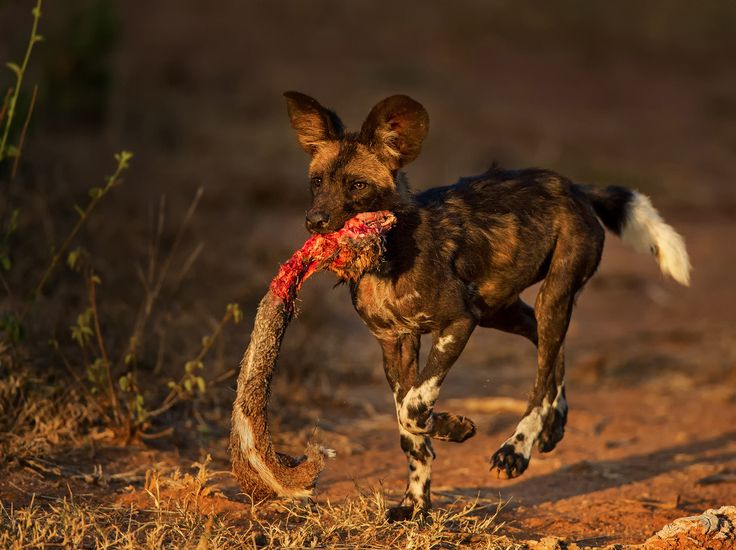 """""""One proud puppy with his trophy"""" in Laikipia Wilderness, Kenya ©Willem Kruger"""