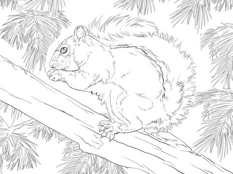 Eastern Grey Squirrel Coloring Page From Tree Squirrels Category Select 24104 Printable Crafts Of Cartoons Nature Animals Bible And Many More