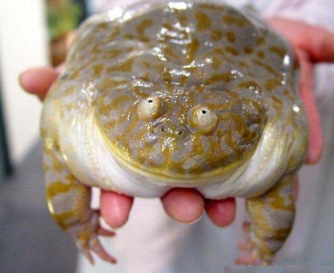 Fat, Smiling Frog steht auf Platz 33 der Liste Die 51 fettesten Tiere in …   – Animal Love