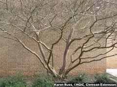 Image result for crepe myrtle