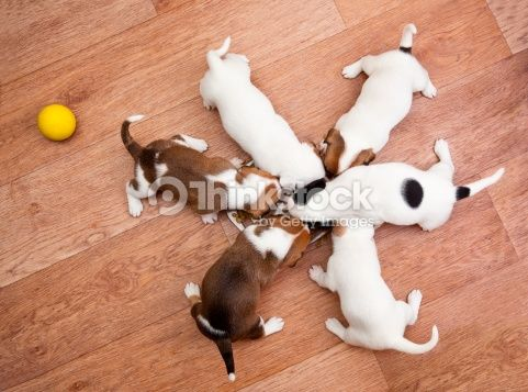 Stock Photo : puppies 2 months old