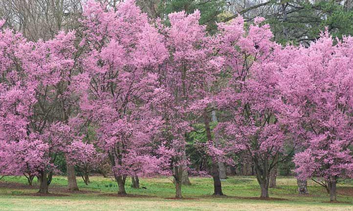 Okame Cherry Tree Growing Prunus Okame In Your Home Redbud Tree Flowering Cherry Tree Cherry Tree