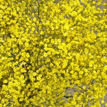 Yellow Tinted Million Star Babys Breath - Bulk - fiftyflowers.com