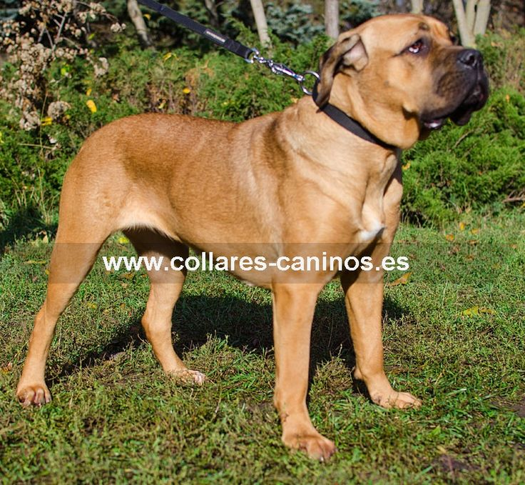 Collar de adiestramiento para perros pequeños y grandes Cane Corso nailon con cierre clip rápido