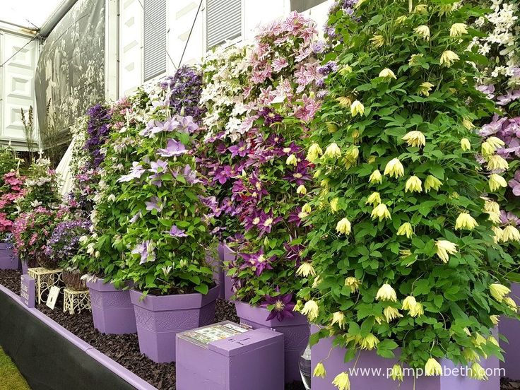 Taylors Clematis were presented with a Gold Medal by the RHS judges, in The Great Pavilion, at The RHS Chelsea Flower Show 2016