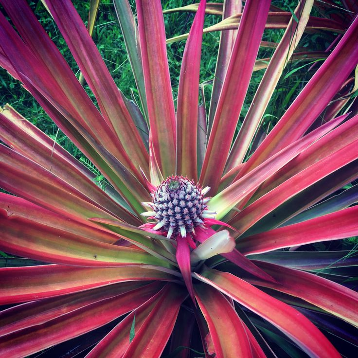 A fruit lover's dream... The Piña Rosada or pink pineapple comes straight from our tropical fruit garden and is extra sweet. Be part of the dream at Golfo Dulce Retreat www.gdretreat.com