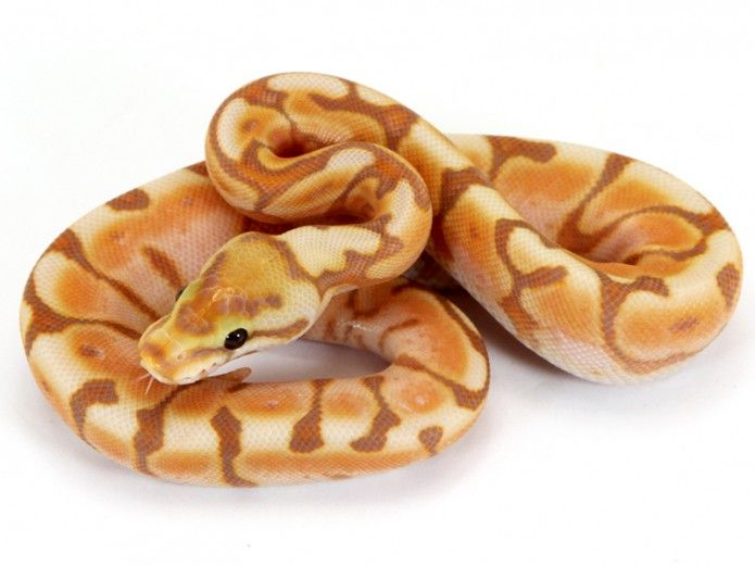 Banana Enchi Cinnamon Spider | Markus Jayne Ball Pythons