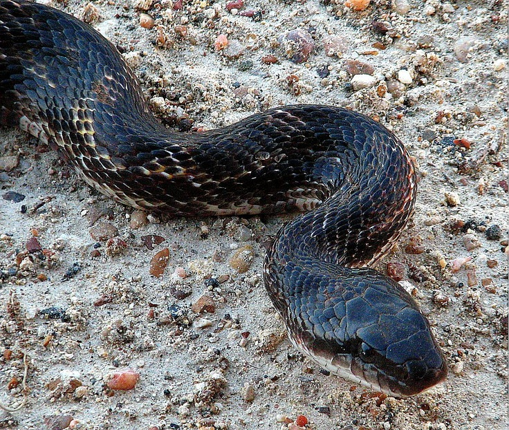 Chicken Snake Snakes Of Southern Indiana Pinterest