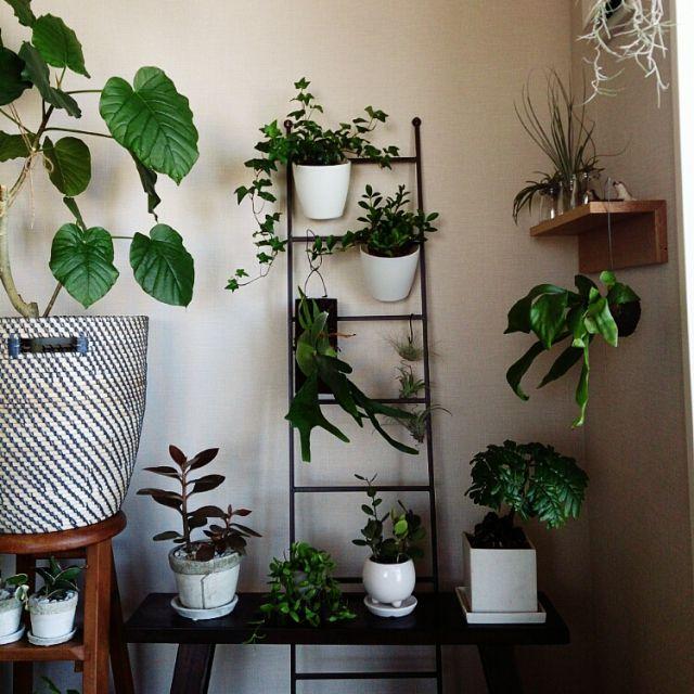 abeさんの、チランジア,ラダー,コウモリラン,ビカクシダ,カランコエ,ペペロミア,IKEA,グリーンドラム,カンガルーポケット,ヘデラ,観葉植物,植物,多肉植物,リビング,のお部屋写真