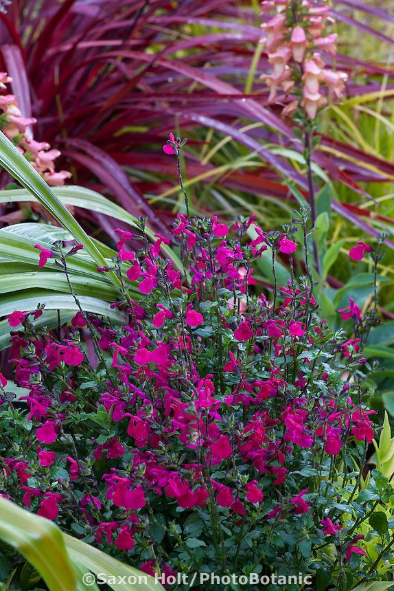 Salvia Microphylla Killer Cranberry Mountain Sage Red Flowering