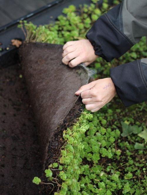 手机壳定制air jordan  shoes for sale A close up look at a highly effective green roof in Malmo Sweden It doesn  t take much
