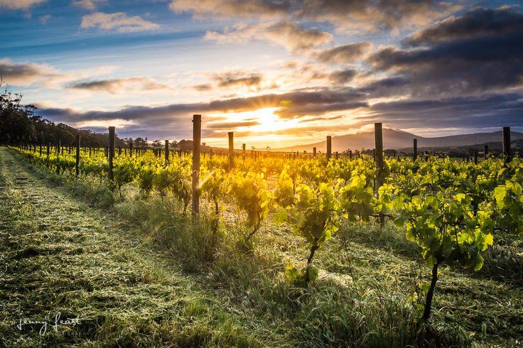 Vineyard Photography, Madfish Wines, Howard Park Wines, Porongurup, Sunrise, Summer, Western Australia, Chardonnay Vines. (c) Jenny Feast Photography
