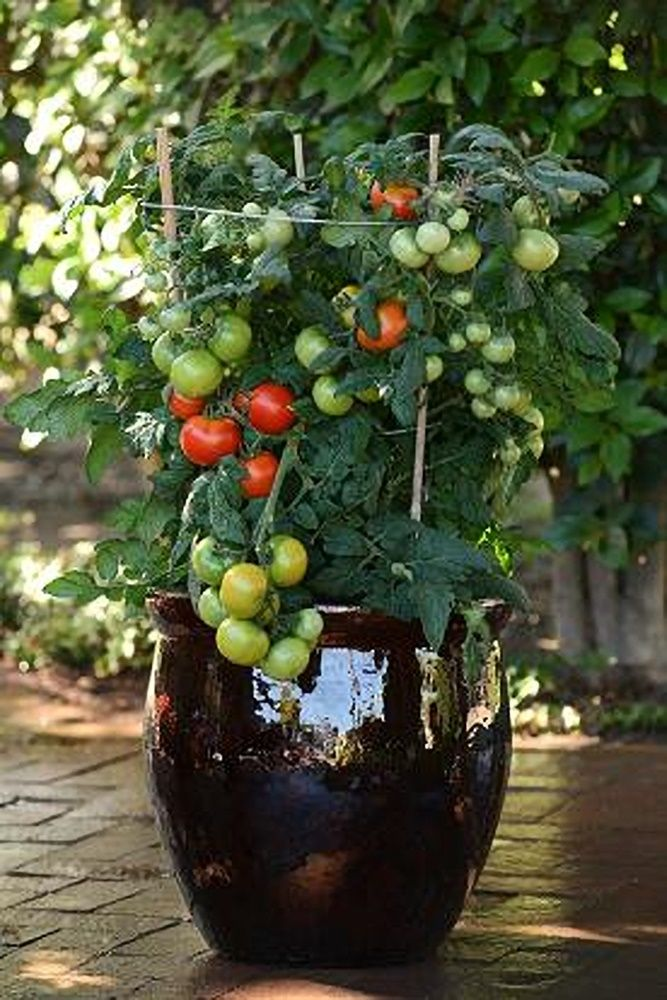 Little Sicily Tomato Seeds Tomato Seeds Perennial Vegetables Seeds