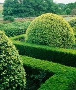 Dwarf English Boxwood buxus semperivrens 'suffruticosa' a true dwarf evergreen shrub that grows to 2-3' tall and wide. Very easy care- grows in sun or shade. In winter, leaves take on a bronze tone. Zones 5-8