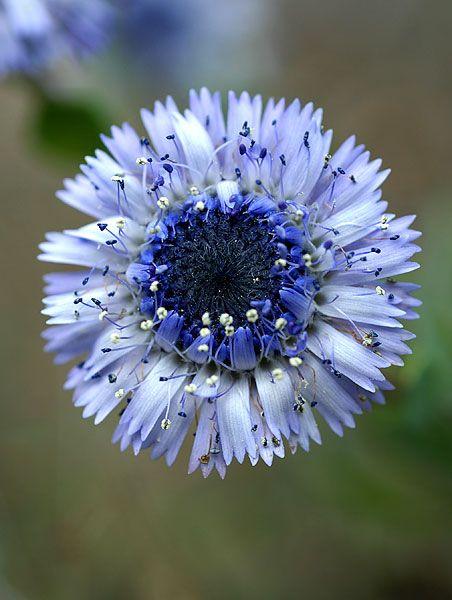 Globularia alypum [Family: Plantaginaceae] Fiche détaillée Fleurs des Hautes-Alpes - Florealpes