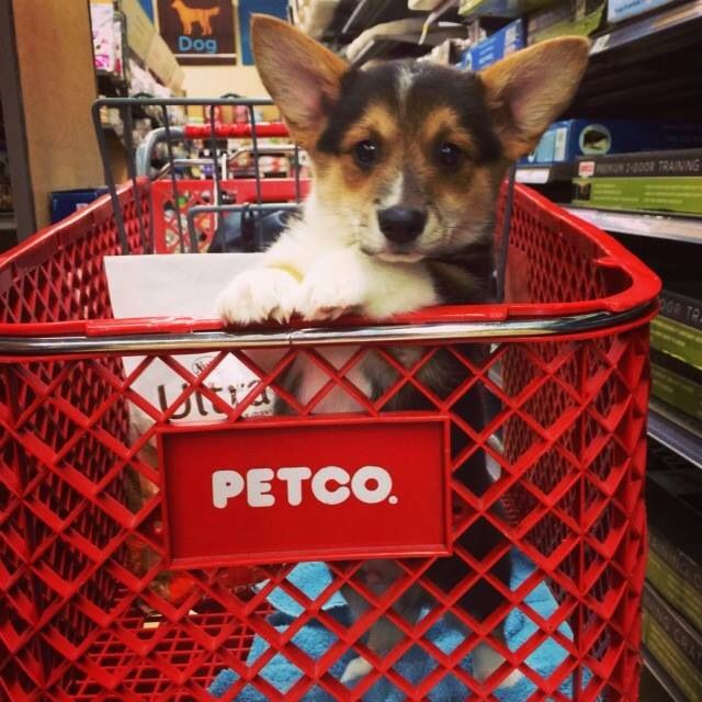 143 Best Images About Corgis In Baskets And Boxes On
