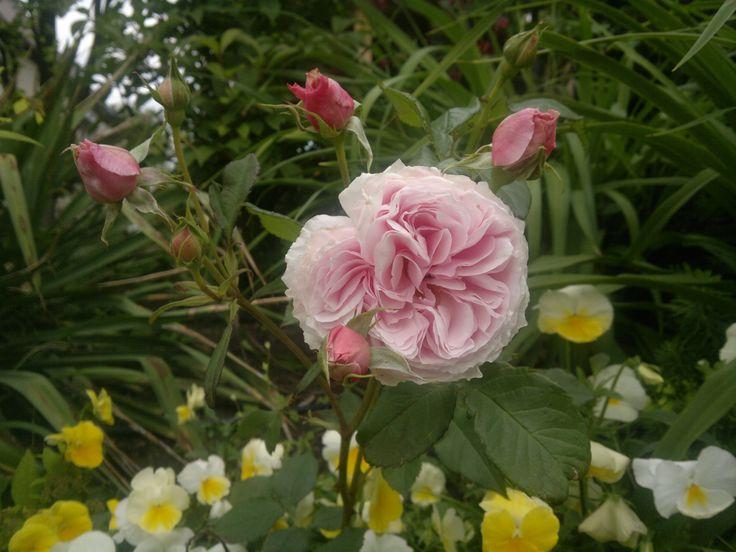 Angielskie róże