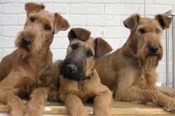 L'Irish Terrier est un bon chien de ferme également utilisé comme chien de chasse. C'est un compagnon agréable qui aime vivre en famille à la campagne.