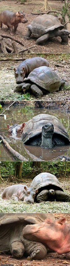 This baby hippo got swept away by a tsunami and a 130 year old tortoise became his new best friend..