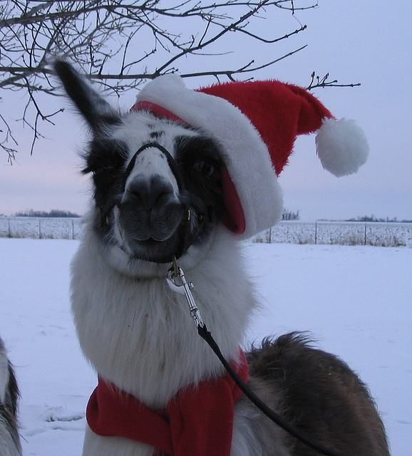 Merry Christmas from the Santa Llama!