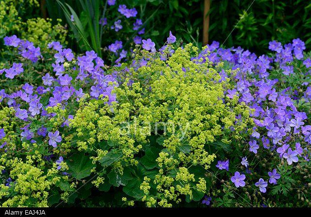 Alchemilla Mollis geranium johnsons blue yellow blue flowers flower combination mix mixed planting scheme garden RM Floral Stock Photo