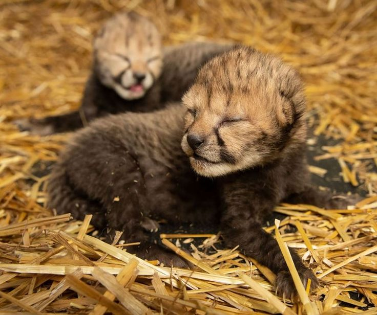 Historical Moment Two Cheetah Cubs Born By Surrogate