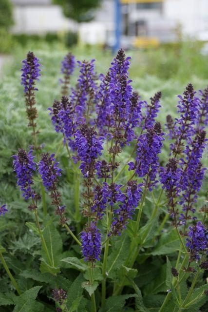 Salvia nemorosa Mainacht* - Steppen-Salbei, nachtblau :: Gärtnerei Strickler