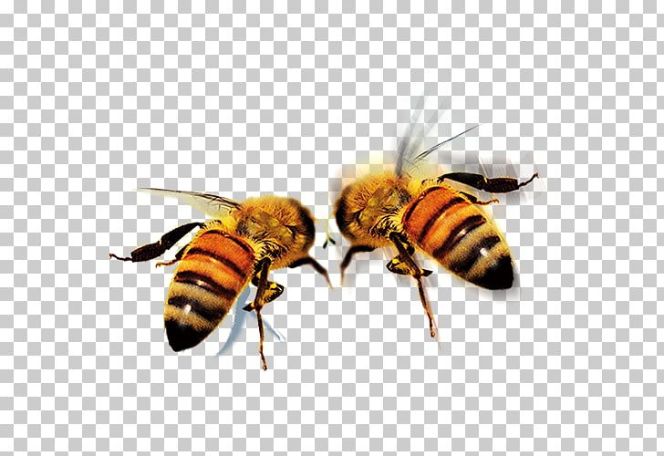 Apidae Queen Bee Icon Hd Bee Two Honey Bees Png Clipart Bee Icon Bee Cartoon Bee