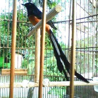 facebook, KicauBurungku, omkicau, suara burung alamendah, suara burung facebook, suara burung simomot, suara burung youtube, suaraburungs, youtube