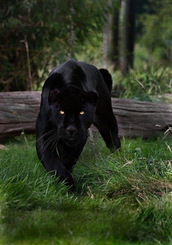 panthére noire...
