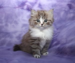 RagaMuffin Kittens – Kaerik RagaMuffins....would love one of these, if I didn't travel so much.