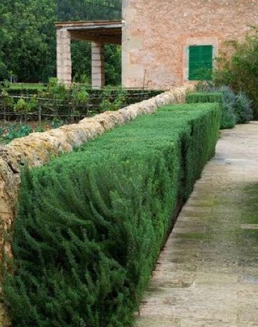 Rosemary hedging