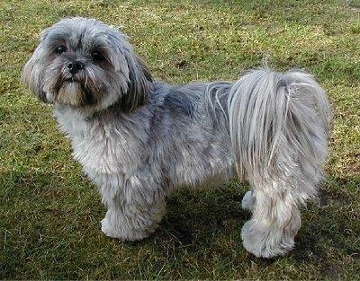 Lhasa Apso   Has that same look as my little black and white Baylee!