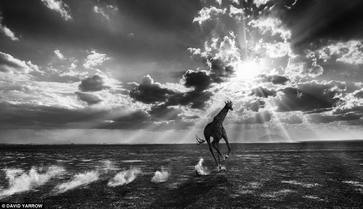 The photographer said this image of a giraffe galloping in Kenya was 'the strongest picture I had taken in some time'