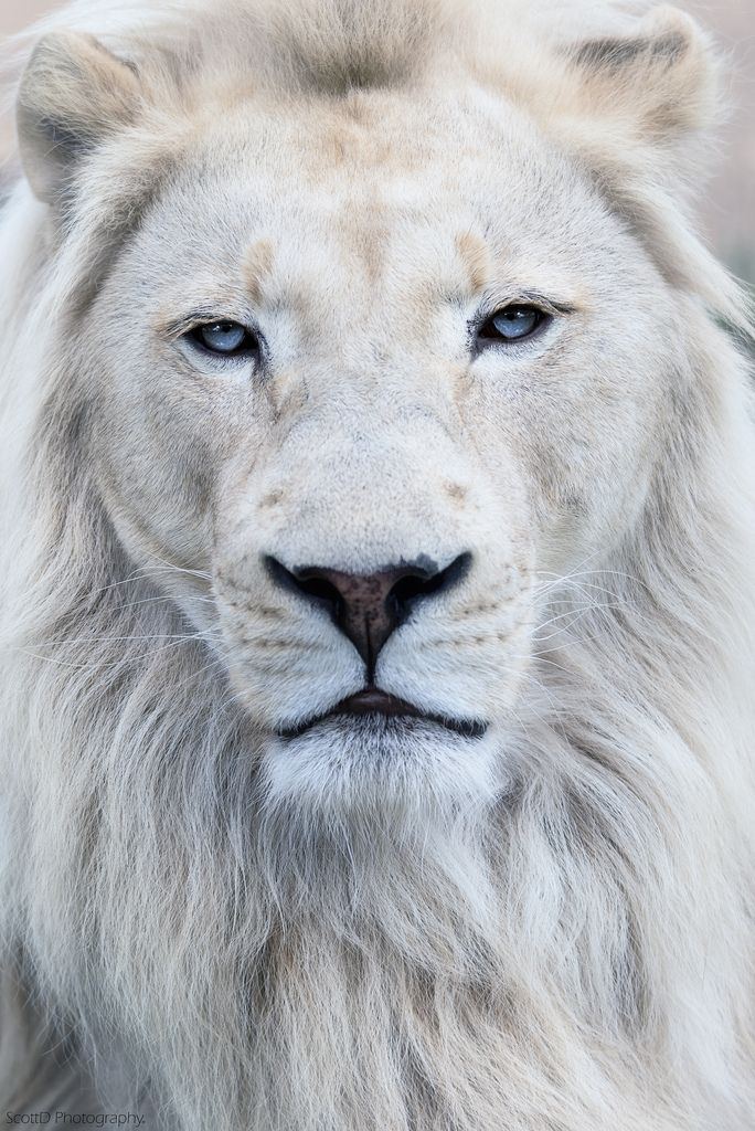 ~~White Lion by ScottD Photograohy~~