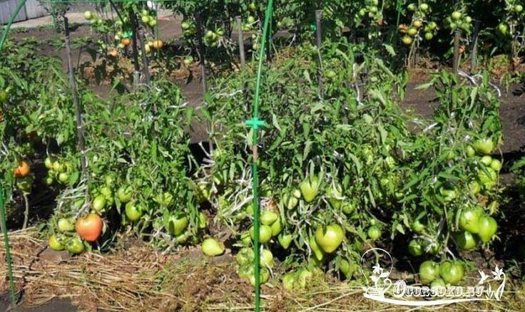Уникальный способ посева томатов... под зиму    Самая большая проблема для овощеводов – это рассада. Те же помидоры сеют на рассаду в конце марта. День в первом месяце весны еще короткий, поэтому рассаде нужна подсветка. Проблема. К тому же под рассаду надо много места – бывает, у дачников заняты все подоконники. Но куда в это время девать комнатные растения? Опять проблема. Потом ее надо доставить на дачу. Хорошо, если есть машина. А если нет? В общем, сплошные хлопоты. А между тем…