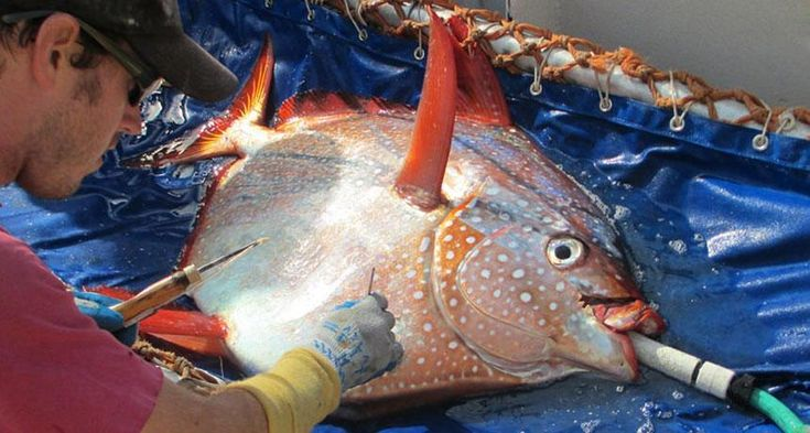 The opah, also known as the moonfish, maintains its body temperature by circulating warm blood through its body.