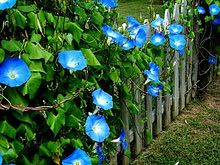 Morning Glories - easy to grow perennial climbing flowers with beautiful color