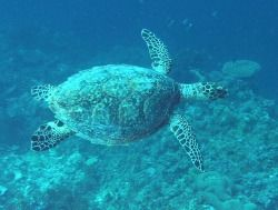 There are five species of turtles found in Fiji: hawksbill loggerhead green pacific ridley leatherback
