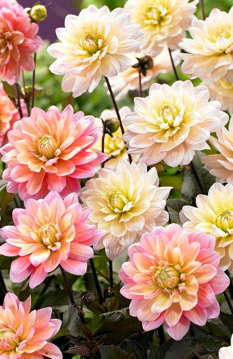 ~~Dahlia Chocolate and Candy | stunning decorative dahlia with dark foliage…
