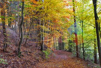 stock photo of forest trail with yellow trees red leaves on ground at autumn horizontal