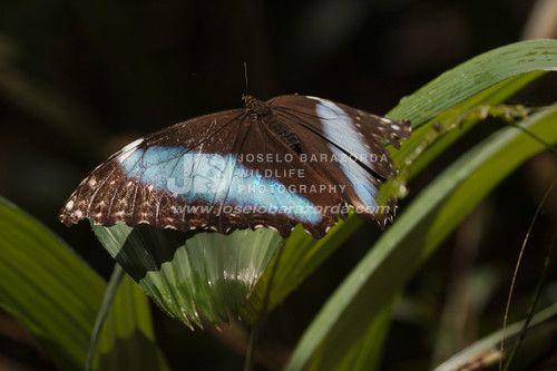 Blue Morpho Butterfly 1