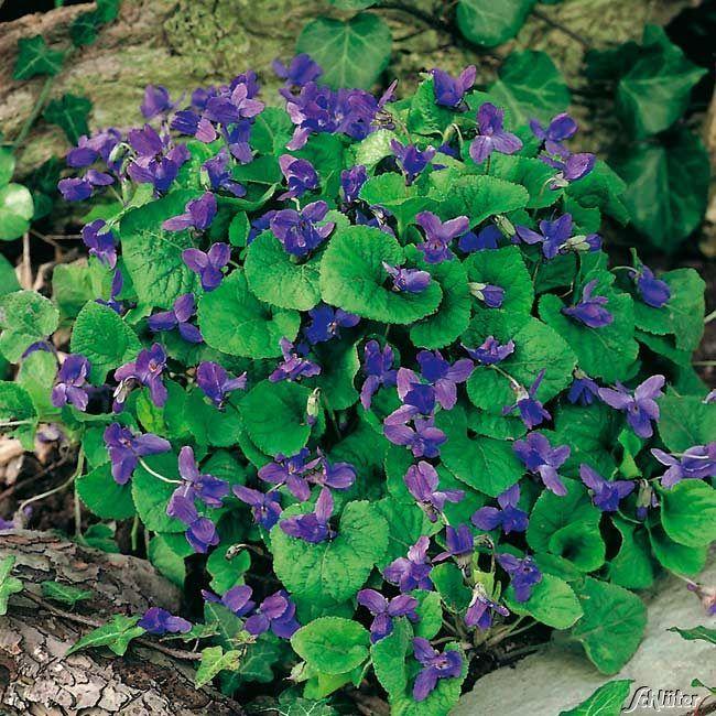 Violettblaues Duftveilchen 'Königin Charlotte'