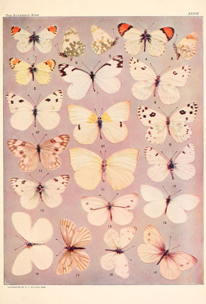 From W. J. Holland's The Butterfly Book, photographic plate.