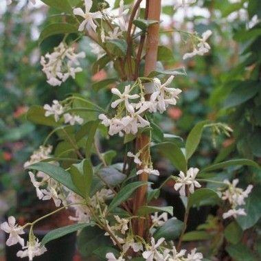 jasmin toil jasminoides arbres et arbustes duornement plantes jardiland with suspension fleur. Black Bedroom Furniture Sets. Home Design Ideas