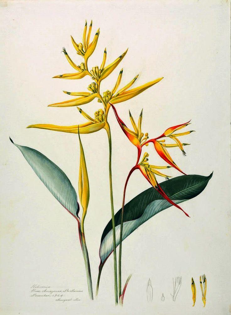 Olímpia Reis Resque: Heliconias à margem do Uaupés