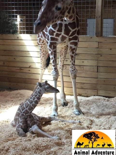 April the Giraffe and baby boy